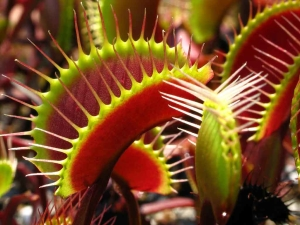 Plantas carnívoras para acabar com os insetos.